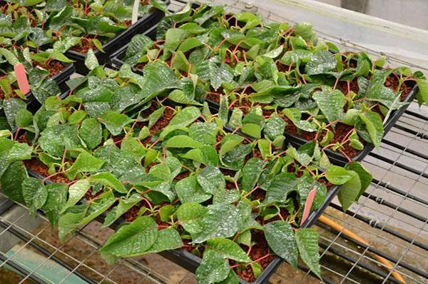 Пуансеттия выращивание из черенка 95