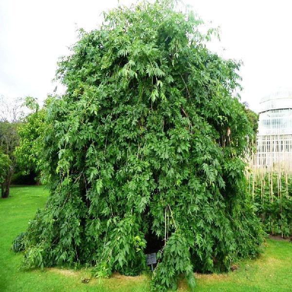 ясень плакучий в саду