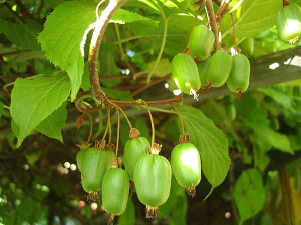Актинидия выращивание и уход в сибири 3