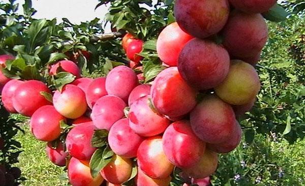 алыча сорт Персиковая