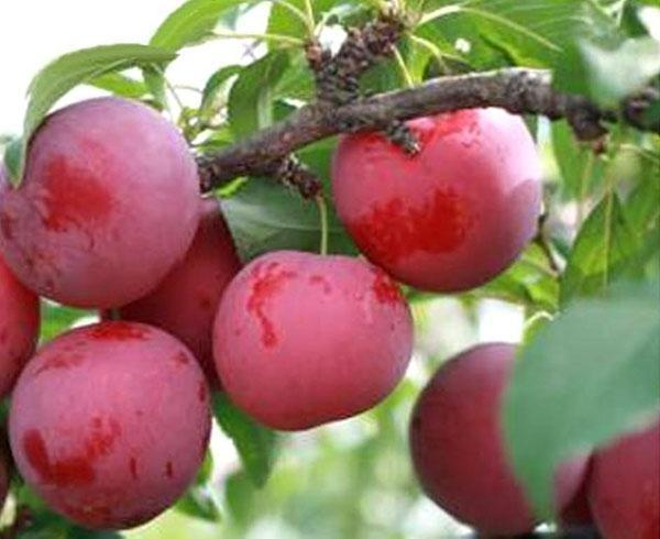 алыча сорта рубиновая