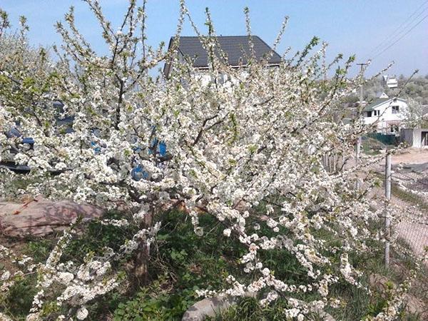 алыча в период цветения