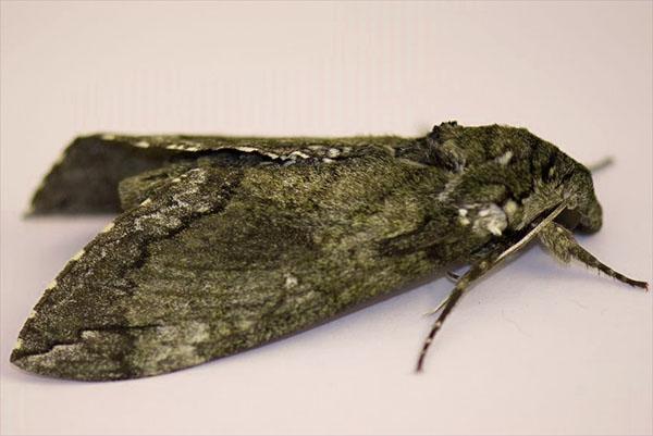 бабочка табачного бражника