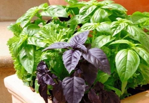 Как посадить базилик семенами, видео