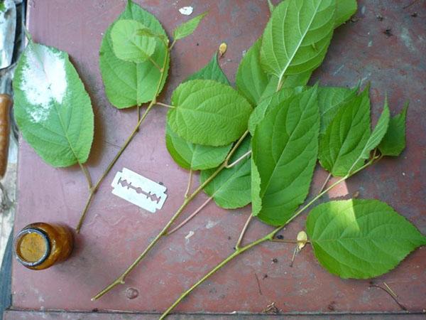 размножение актинидии коломикта зелеными черенками