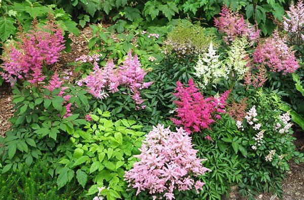 цветение астильбы в саду