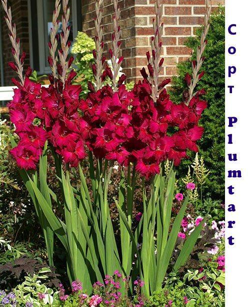Цветение гладиолуса Plumtart