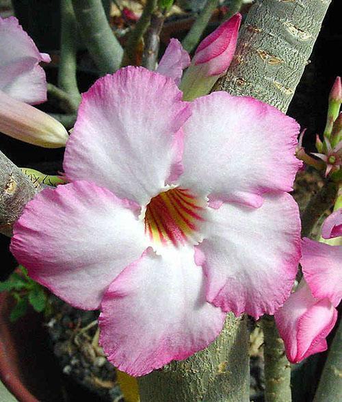 цветок адениума арабикум