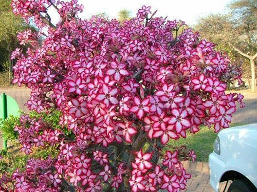 Цветущий адениум в национальном парке Крюгера в ЮАР