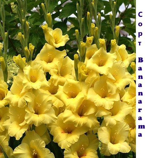 гладиолус Bananarama