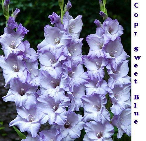 Гладиолус Sweet Blue