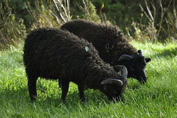 карликовые овцы