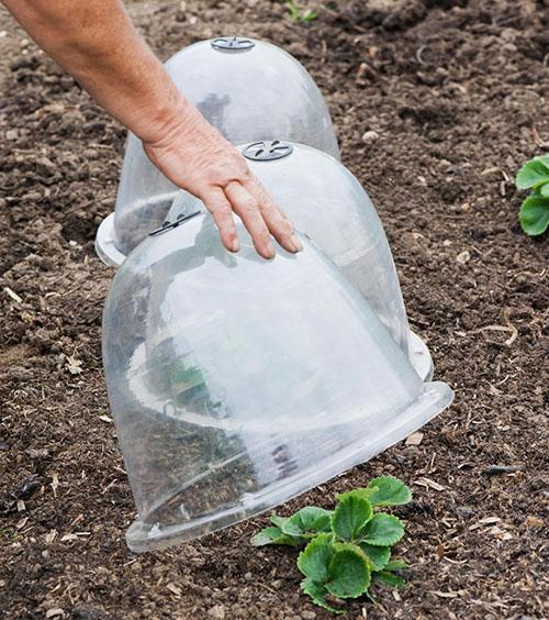 колпаки для защиты садовой земляники