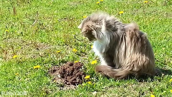 кошка охотится на крота