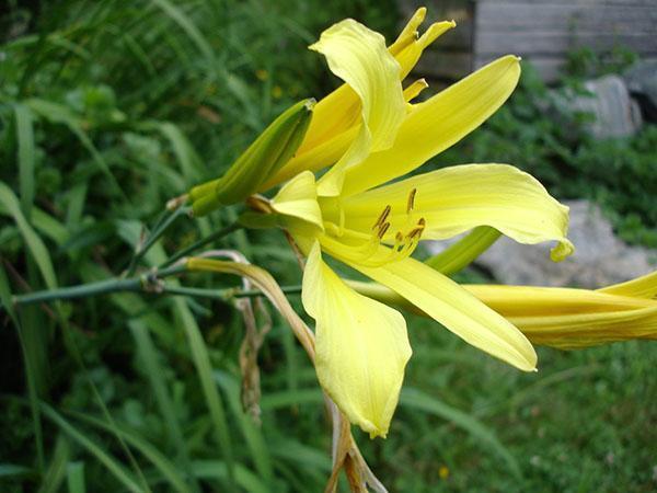 Лилейник лимонно-желтый (H. citrina)