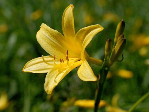 Лилейник желтый (H. flava)
