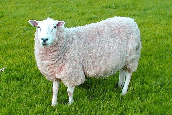 мини овца
