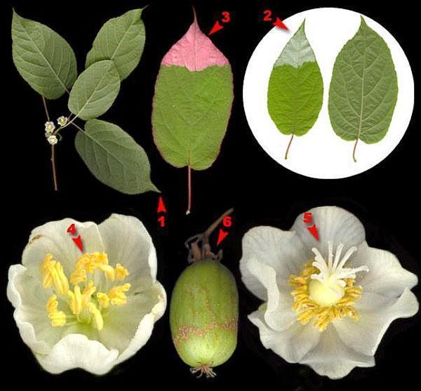 мужские и женские цветы актинидии