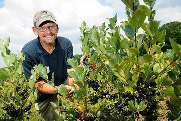 Арония черноплодная - посадка и уход, размножение черенками, выращивание на штамбе, видео