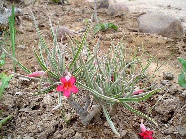 Растение вида адениум олеифолиум