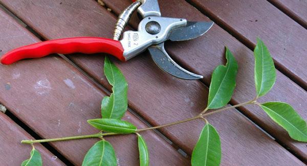 размножение дерева черенками