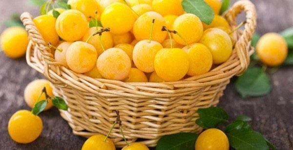 солнечные плоды сорта Злато скифов