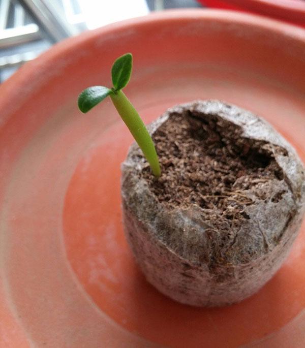 росток адениума в торфяной таблетке