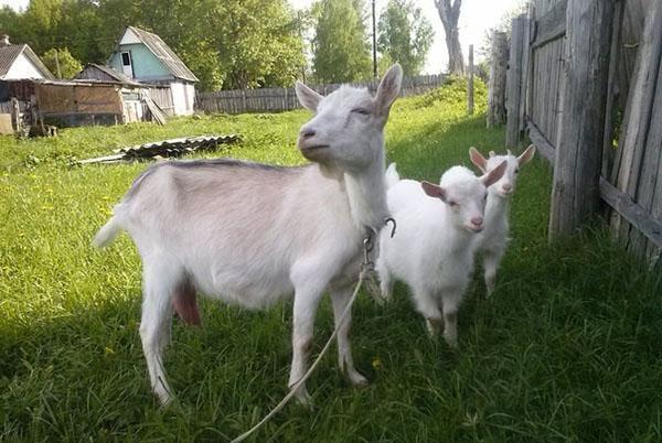 семейство коз