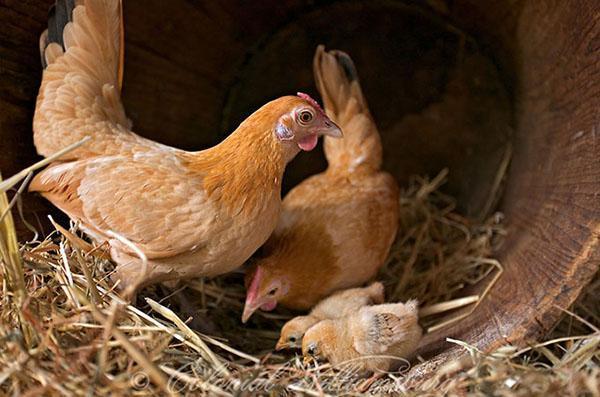 семейство маленьких кур