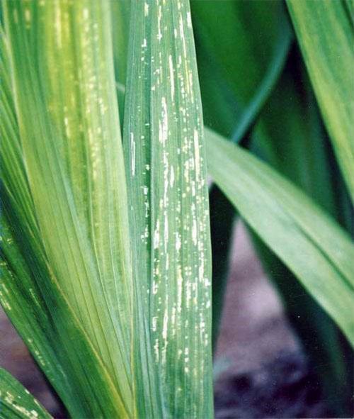 слабые больные листья гладиолуса