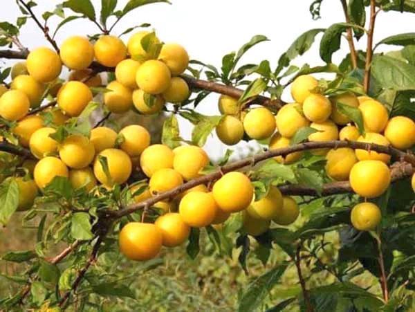 спелые плоды алычи сорта злато скифов