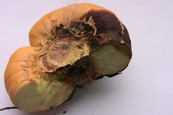сухая гниль луковицы гладиолуса