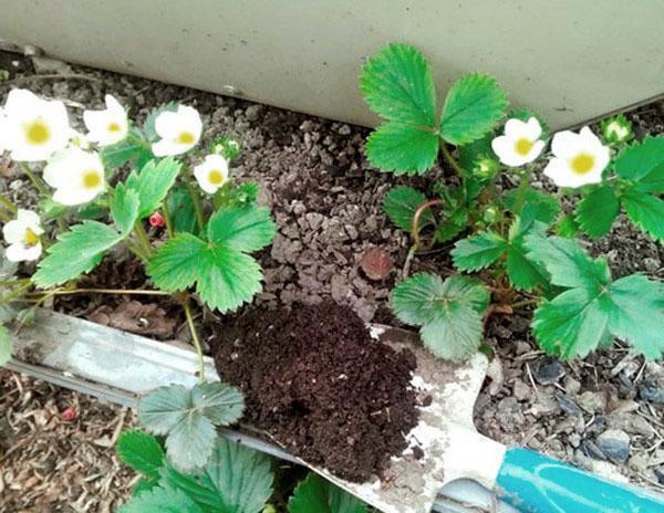 уход за клубникой весной