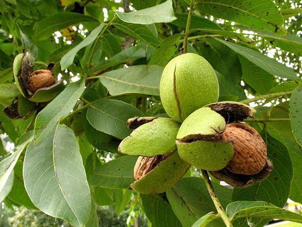 урожай ореха идеал