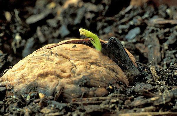 выращивание ореха грецкого идеал