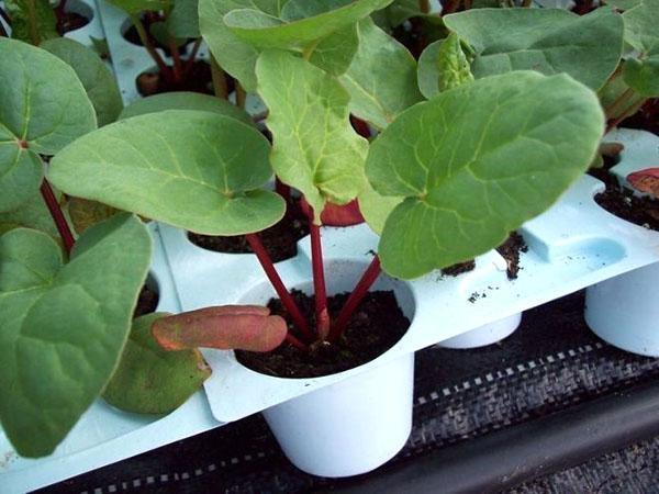 выращивание ревеня из семян