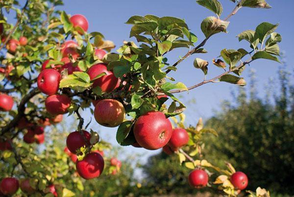 яблоня из корнесобственного саженца