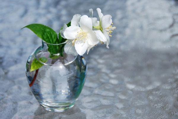 ароматные цветы жасмина