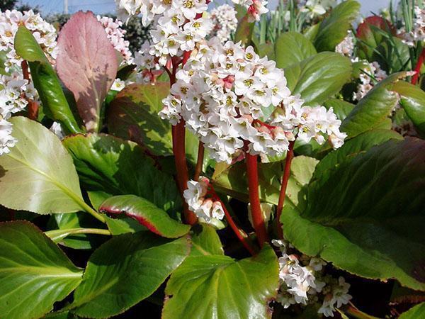 Белые соцветия сорта бадана Bressingham White