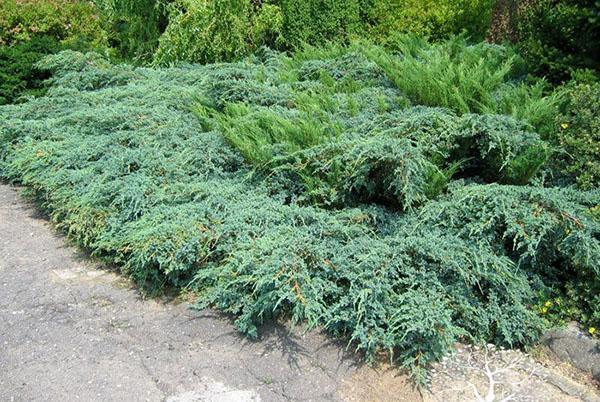 Блю Карпет среди других хвойных растений