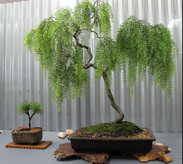 japanischer bonsai baum. Black Bedroom Furniture Sets. Home Design Ideas