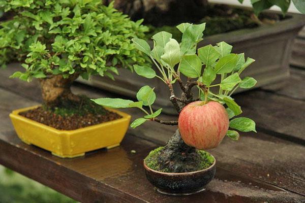 бонсай из яблони