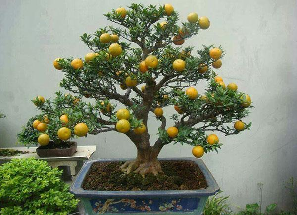 бонсай лимон