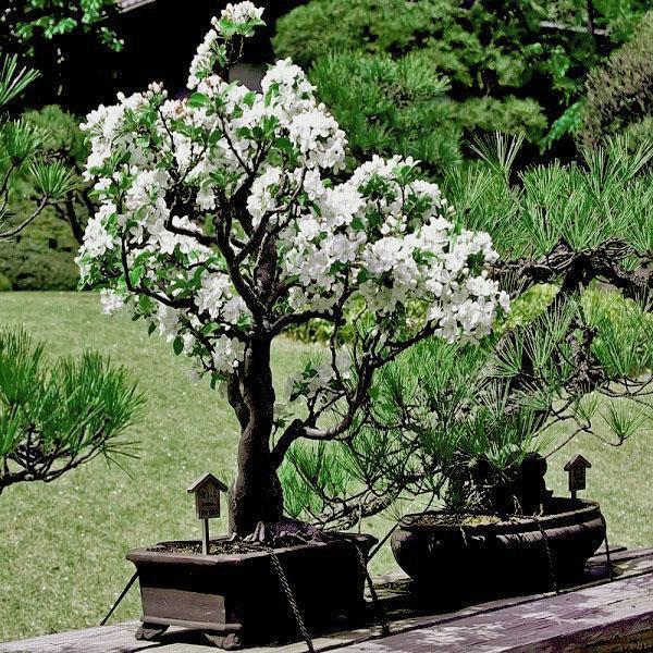 Как сажать сакуру из семян 96