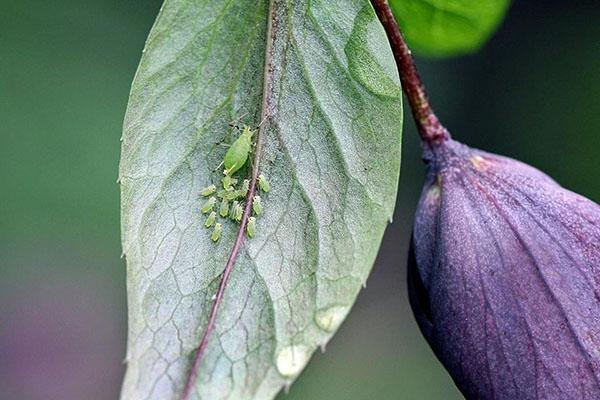 борьба с вредителями цветников