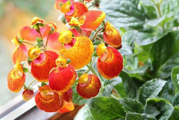 Calceolaria x herbeohybrida Ladies Purse