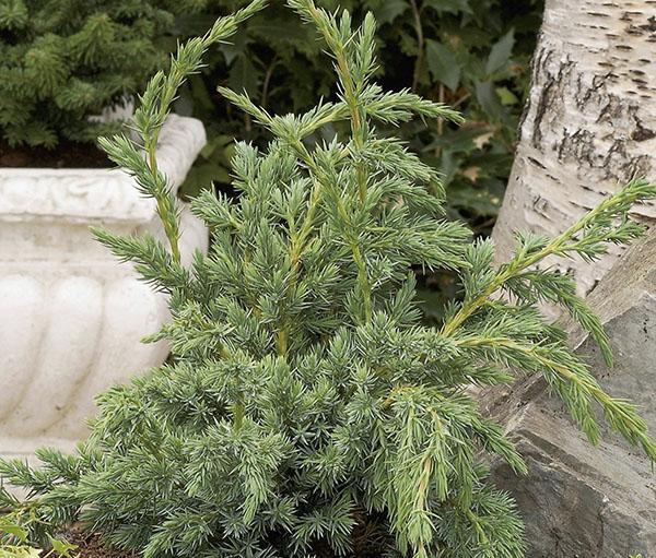 Молодое растение можжевельника чешуйчатого Meyeri