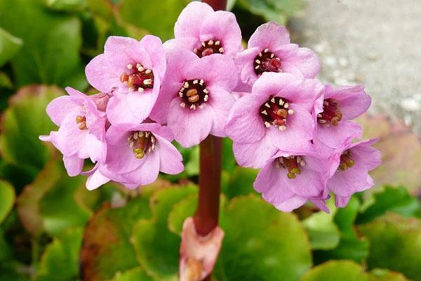 Цветение бадана сердцелистного
