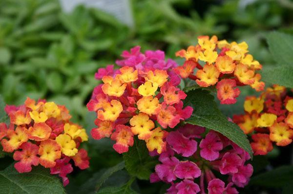 Яркие соцветия лантаны