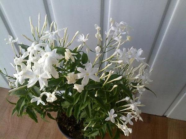 цветущий жасмин в комнате